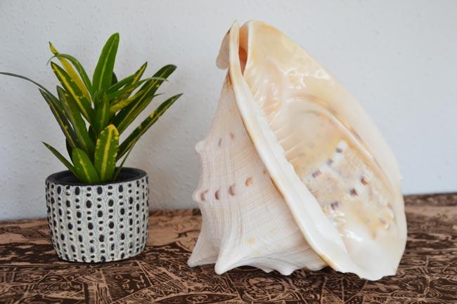 oceanska školjka
